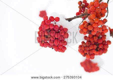 Winter Red Berries. Snow-covered Red Bunches Of Rowan In The Snow. Rowanberry Twig In Snow. Red Bunc