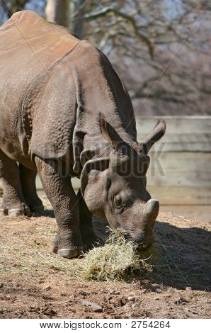 hungry rhinoceros eating his hay at the zoo poster