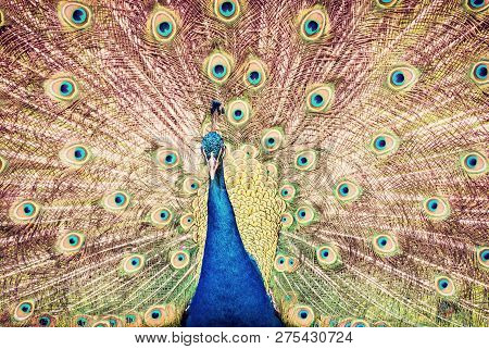 Indian Peafowl - Pavo Cristatus Displaying. Animal Scene. Beauty In Nature. Red Photo Filter.