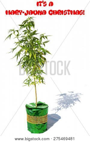 Female Cannabis Plant. Christmas Gift. Isolated on white. Room for text. Red Santa hat on a Green Gift box with a Recreational or Medical Marijuana Plant. Its a Mary-Juana Christmas.