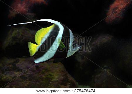 Ongfin Bannerfish Heniochus Acuminatus With Black Backgrond