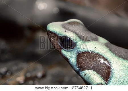 golden poison dart frog dendrobates auratus poisonous animal with bright warning colors lives in tropical rainforest of Panama poster