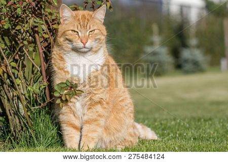 Ginger Cat Sitting Outside In The Grass Close Up