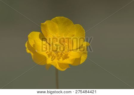 Ranunculus Acris - Meadow Buttercup - Tall Buttercup - Common Buttercup - Giant Buttercup