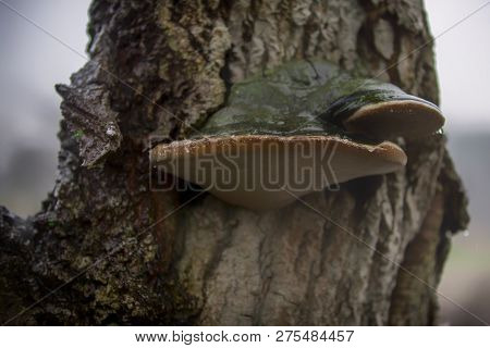 Fomes Fomentarius (commonly Known As The Tinder Fungus, False Tinder Fungus, Hoof Fungus, Tinder Con