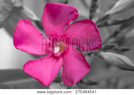 Rosebay (nerium Oleander) Is Blossoming In A Hot Summer Day