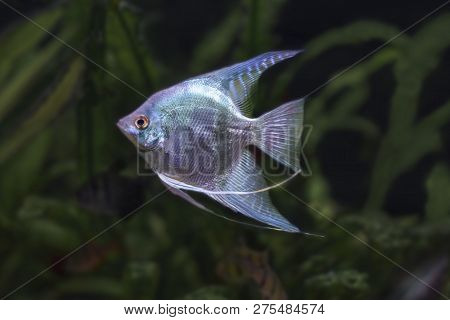 Pterophyllum Scalare White/blue Close Up In The Water