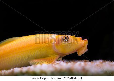 Gyrinocheilus Aymonieri. Fish Mouth Stuck To The Stone On A Background Of Green Grass. Aquarium.