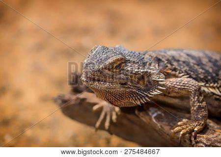 Pogona Vitticeps With Light Green Skin Walks In Nature. Wild Life And Reptiles Concept. Iguana Rests