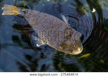 Friendly Arothron Hispida Fish In The Red Sea