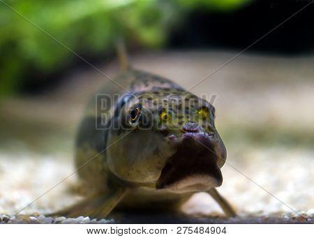 Chinese Algae Eater Catfish Gyrinocheilus Aymonieri On Ground
