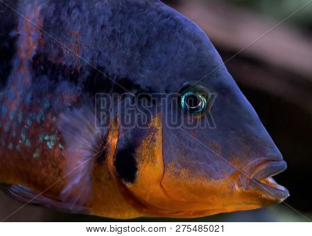 Mexican Fire Mouth (thorichthys Meeki) Close Up