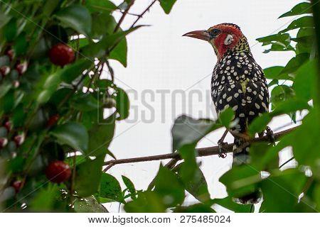 Opslaan Voorbeeld Downloaden Beautiful Red And Yellow Barbet A Colorful African Bird Trachyphonus Er