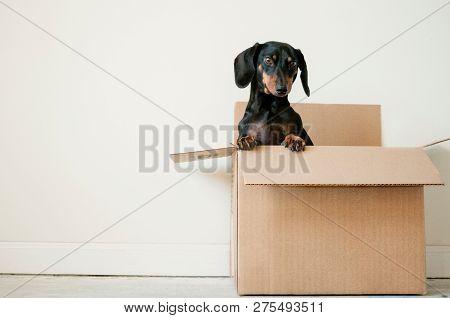 Cute Black Dachshund (wiener Dog) Poses For Photo