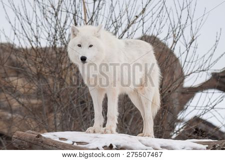 Wild Alaskan Tundra Wolf Is Looking At The Camera. Canis Lupus Arctos. Polar Wolf Or White Wolf.