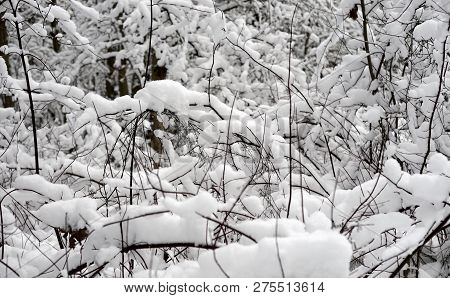 Tree Branches Covered With Snow In Karelian Isthmus, Russia.