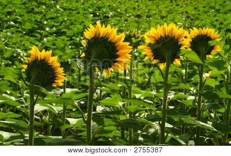 Yellow Faces In A Sea Of Green