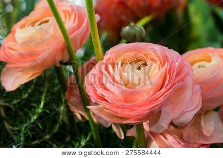 Ranunculus Asiaticus Or Persian Buttercup Bright Pink Flower. Ranunculus Is Spring Flover For Border