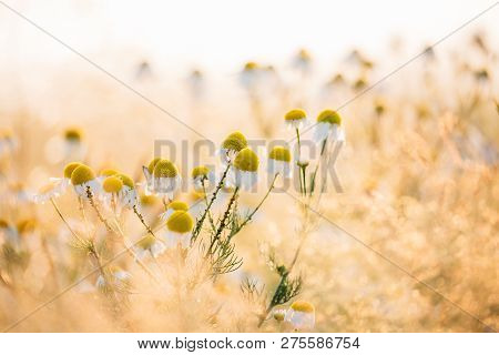 Blooming Wild Flowers Matricaria Chamomilla. Matricaria Recutita - Chamomile. Commonly Known As Ital