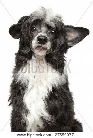 Portrait Of A Sad Chinese Crested Dog, Isolated On White Background. Animal Themes, Front View