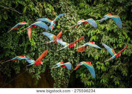 Flock Of Red Parrot In Flight. Macaw Flying, Green Vegetation In Background. Red And Green Macaw In
