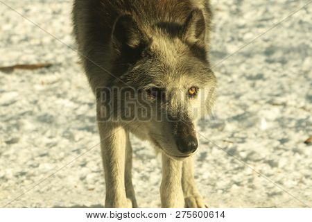 A Closeup Of A Gray Wolf Coming Close To Check Me Out.