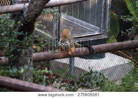 Common Squirrel Monkey Saimiri Sciureus