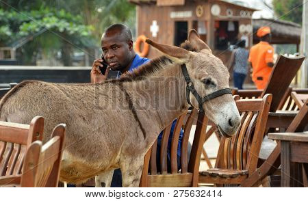 Man Calls Via His Cell Phone While A Donkey Walks Around Chairs And Tables Of A Resort Open - Air Ca