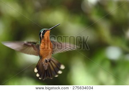 Purple-throated Mountaingem Lampornis Calolaemus Flying, Bird From Mountain Tropical Forest, Waterfa