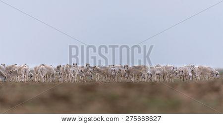 Herd Of Females During The Rut Period. Saiga Tatarica Is Listed In The Red Book, Chyornye Zemli (bla