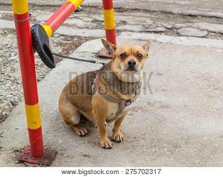 The Small Brown Dog Is Tied To The Fence With A Leash. Cute Dog Is Waiting For Its Owner Outside A S