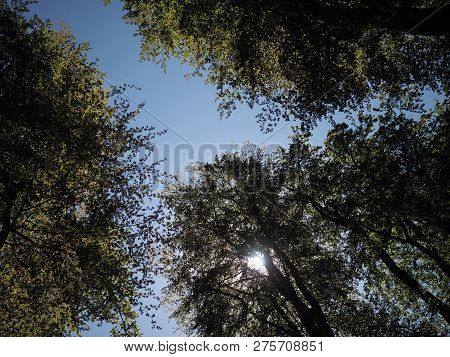 Sunflare Through Three Green Leafy Trees In Woodland, With Blue Sky