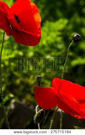 Red Poppy Flowers, Closeup Of Poppy Flowers