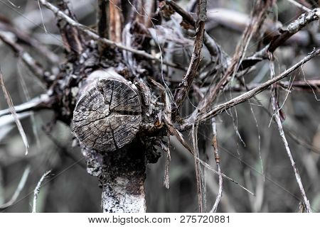 Dry Cracked Cut Tree Branch End With Branches And Twigs Sprouting From Center