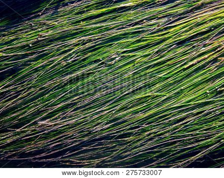 Background Created By Lines And Textures In Green Wet Seagrass.