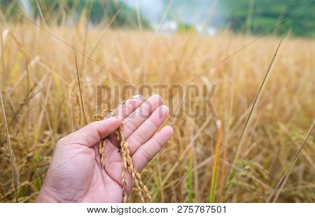 Ripe Rice Paddy Field. Closeup Of Yellow Paddy Rice Field With Golden Sun Rising In Autumn. High-qua