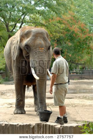 Trainer works with elephant in outdoor enclosure. Trainer is wearing tan uniform. poster