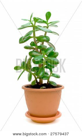 Green Plant (crassula) On A White Background