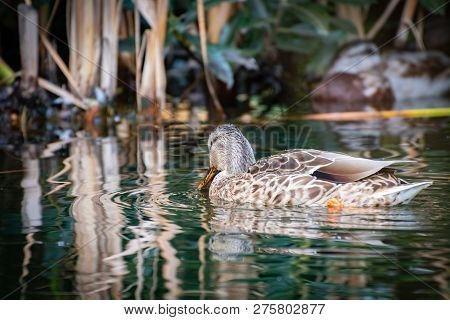 Mallard Duck wading in a pond with head down, beak/bill in the water, on Granville Island in Vancouver, British Columbia, Canada poster