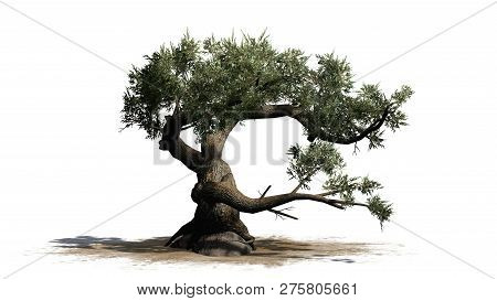 Jeffrey Pine Tree On A Sand Area - Isolated On White Background - 3d Illustration