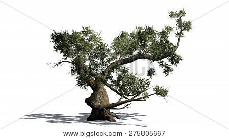 Jeffrey Pine Tree With Shadow - Isolated On White Background - 3d Illustration