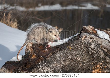 Opossum (didelphimorphia) Glares Out From Atop Log Winter - Captive Animal
