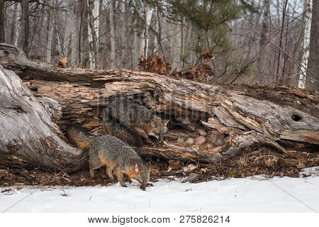 Grey Foxes (Urocyon cinereoargenteus) Sniff Around Log Winter - captive animals poster