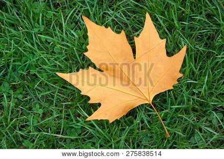 A Single Maple Leaf On Green Grass