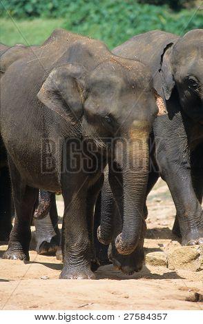 Asian Elephant, Pinnawela Orphanage, Sri Lanka