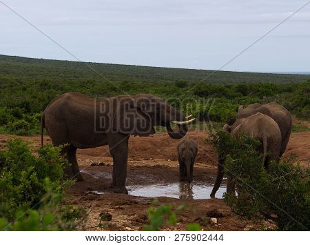 Elephant Family With A Small Calf Stopping At A Waterhole For Some Drinking And Bathing, Addo Elepha