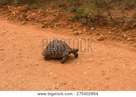 Leopard Tortoise Slowly Wandering Along The Road In Addo Elephant Park, South Africa
