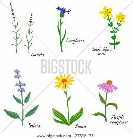 Flower Of Saint Johns Wort, Hypericum, Vector Drawing Medicinal Plant, Hand Drawn Botanical Illustra