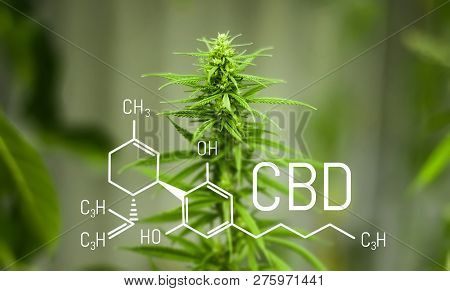 Chemistry Cannabis. Cbd Cannabidiol Formula. Science, Research Marijuana. Thematic Photos Of Hemp An