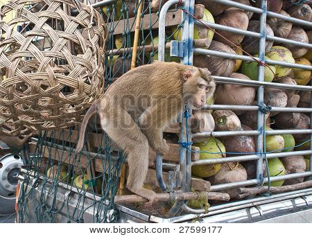 Monkey Macaque Coconut Sit In The Truck On Road. poster